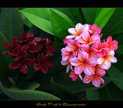 I'll Show You Mine If You Show Me Yours... (mad plumerian) Tags: flowers canon hawaii florida plumeria australia exotic hawaiian frangipani rare tropicals tropicalflowers a620 hybrids rareplant landscapephotography rareplants exoticflowers flowersinbloom rareflowers rareplantsflowers hybridflowers
