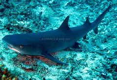 WHITE TIP Shark Chilling On The Seabed @ The DROP OFF - SIPADAN ISLAND, SABAH (MoToTo) Tags: world pictures ocean blue sea vacation white nature water smart canon island photography grey shark marine holidays paradise underwater natural photos dive july diving powershot east clear seven malaysia pixel tips scubadiving sharks fin reef sipadan creatures 2009 sabah pulau kapalai mabul fins wonders gills marinelife dropoff sharkfin whitetip seabed g10 pulausipadan sipadanisland canonpowershotg10