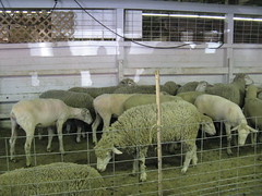 Sheep in the shearing pen