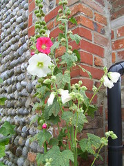 hollyhocks054