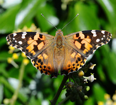 pl (Ef-stop:::::::) Tags: lady butterfly painted paintedlady