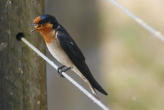 Welcome Swallow (gecko47) Tags: swallow ingham welcomeswallow hirundoneoxena insecteater bokehwhores tytowetlands