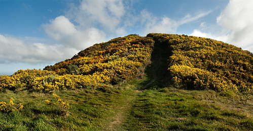 Colline d'ajoncs - Gorse Hill