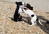 Puppy Kisses? (judibluemed) Tags: puppies indy springerspaniel bordercollie ruby loveatfirstsight indianabones flickrsmileys ateasthead