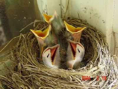 Baby birds?
