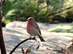 House Finch (DianesDigitals) Tags: finches housefinch carpodacusmexicanus wowjustwow ohthatsgood dianesdigitals