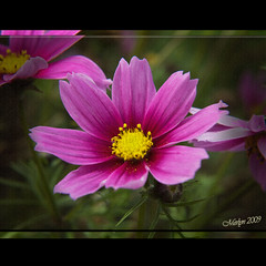 """Cosmopolitan (gainsheritage """"Commenting when I Can"""") Tags: flowers macro nature beauty closeup flora nikon dof blossom bokeh blossoms d70s bloom blooms 2009 merlyn fantasticflower"""