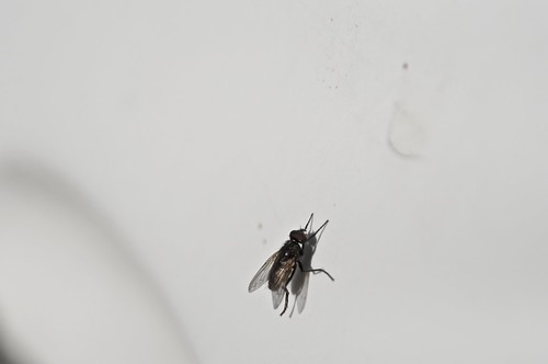 mosca común