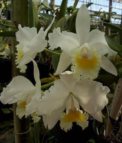 fragrant alba orchids