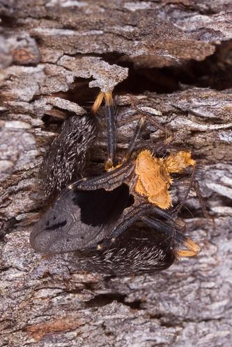 Ptilocnemus lemur