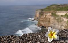 Fiore di frangipane sulla scogliera (Jambo Jambo) Tags: sea bali seascape indonesia nikon mare frangipane uluwatu fiore bukit scogliera d5000 unseenasia nikond5000 jambojambo mygearandme mygearandmepremium mygearandmebronze