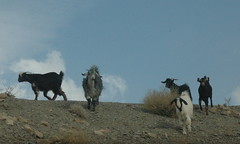 Goats ( AchakzaiElite ... ) Tags: pakistan red wild usa afghanistan macro slr nature water beautiful beauty speed wonderful tokyo drops interesting eyes nikon scenery view d70 action sweet flash fast arabic iso arab shutter stunning lovely splash karachi tamron ultra lahore kabul chaman kandahar pathan landsacpe  quetta 28200mm balochistan pashtun supershot    achakzai