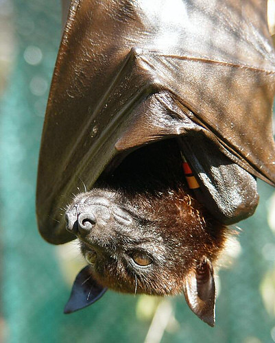 Malaysian Flying Fox