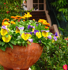 A Carmel Welcome (linda yvonne) Tags: orange yellow colorful gardening zinnia reds carmelbythesea gardendesign terracottapot containergardening pansys plantedpots welcomingtouch