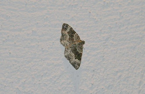 Common Carpet (Epirrhoe alternata alternata)