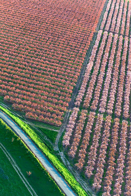 Peach Orchards from the Air