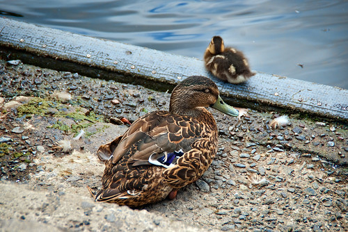 ducks mum and baby