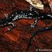 Plethodon fourchensis (Fourche Mountain Salamander)