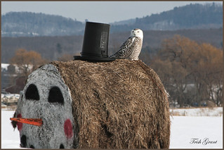 Snowy owl on snowman bale