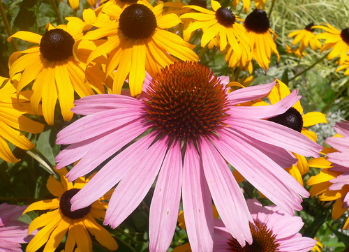 Coneflowers and Black Eyed Susans