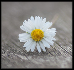 Narrow DOF Daisy (Drippy2009) Tags: flower dof depthoffield daisy narrowdof
