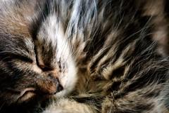 Sleeping Kitten Colour