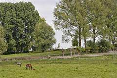 Belgium : Nature # 9 (foto_morgana) Tags: trees horses nature landscape weide europe poplar belgium belgique belgie populier natuur willow salix populus blueribbonwinner zottegem knotwilg platinumphoto mijnwerkerspad topazadjust reuzenpaardestaart