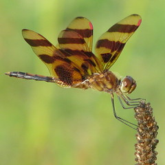 Halloween Pennant, Georgia style (Vicki's Nature) Tags: male yard canon georgia ode dragonfly s5 pennant odonata halloweenpennant celithemiseponina odonate natureoutpost vickisnature beautifulworldchallenges gameh
