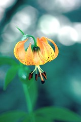 Wild lily (kevin dooley) Tags: park county wild orange brown southwest flower floral mi forest canon one woods alone lily open state bokeh michigan sigma spots single lilly warren xoxo congrats 105mm barrien 40d