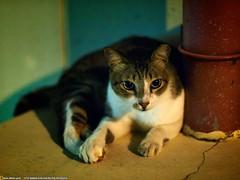 HDB Cat @ Toh Yi Drive (Justin Qian) Tags: cat 50mm singapore voigtlander olympus f11 hdb nokton bukittimah ep1 tohyidrive