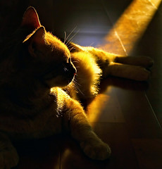 A Place In The Sun (Anne Worner) Tags: cat ginger feline backlighting wefi catmoments catswelove