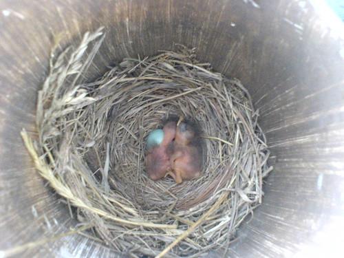 bluebird babies!