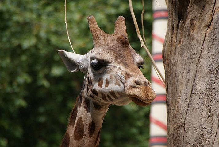 [afb. hoofd giraf]