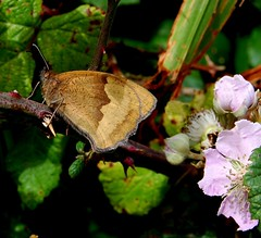 Large or Small Heath or Meadow Brown (see comments) (Gaz-zee-boh) Tags: ireland brown nature butterfly insect blackberry bramble coclare nikond40 almostanything liscannorbay