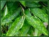 Dracaena surculosa 'Punctulata' (Spotted Dracaena, Gold Dust Dracaena, Gold Dust Plant, Buluh Jepun in the Malay language i.e. Japanese Bamboo)