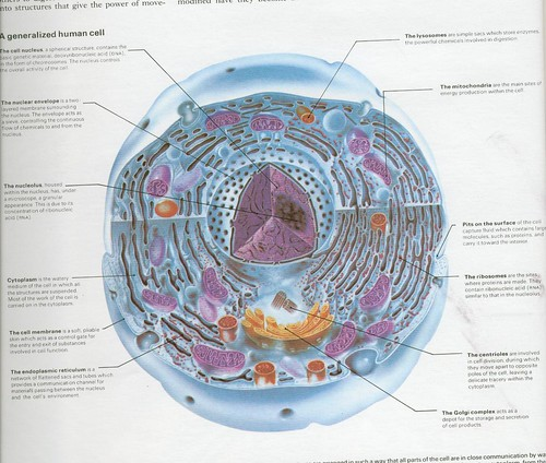 a generalized human cell