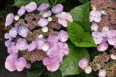 "Hydrangea macrophylla ""Teller Blue"" (Foto Martien (thanks for over 2.000.000 views)) Tags: flowers blue holland home netherlands dutch japan azul garden bush blauw nederland bluesky bleu tuin blau shrub huis garten bloemen a100 hortensia struik blaumeise honshu blueflowers littletree heester hydrangeamacrophylla bigleafhydrangea lacecaphydrangea mopheadhydrangea sonyalpha100 frenchhydrangea pennymac excellentsflowers natureselegantshots mimamorflowers martienuiterweerd carlzeisssony1680 martienarnhem blauwebloempjes tellerblue bluemophead"