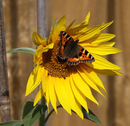 Sunflower Visitor