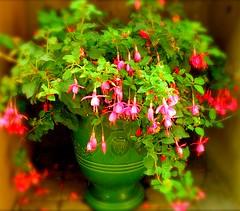 Fuchsia (boisebluebird) Tags: flowers fuchsia boise patio annuals flowerpor michaeltoolson boisebluebirdcom httpwwwboisebluebirdcom boiselandscaping boisegardener