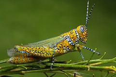 Panther-spotted Grasshopper (Poecilotettix pantherinus) (Mundo Poco) Tags: canon insect grasshopper arthropod sigma105mm eos450d rebelxsi pantherspottedgrasshopper poecilotettixpantherinus