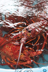 Harbor Festival - spiny lobster