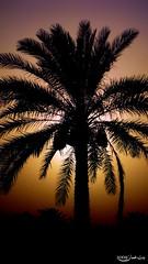 يا عسى الله بعودة عامره بالمرابــح ... أو بحتى خسارة بس أعود بــلادي (BntOman ♥ Ƹ̵̡Ӝ̵̨̄Ʒ✿) Tags: sunset east middle oman region عمان المزرعة سلطنة الباطنة نخيل albatinah