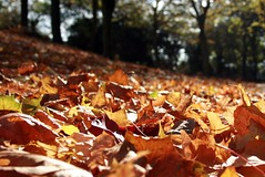 golden and crisp (~*rin*~) Tags: autumn trees light brown sun leaves outside golden miltonkeynes walk crisp fallen autumnal canoneos400d