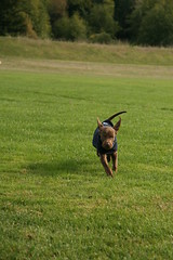 He's In the Final Turn (Palmer Digital Studio) Tags: dog pet baby brown home halloween puppy toy mix day dancing chocolate tag first vizsla canine queen weimaraner german chew bandana pooch abba hungarian