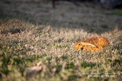 Spotted (Tim Bellette) Tags: rabbit bunny grass animal farm australia qld aus canungra a850 sal2470z
