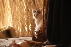 Bedouin Kitty Cat (p medved) Tags: village egypt oasis egipto gypten egitto sinai egypte egito bedouin egypten egipt misr misir egipat egyptus