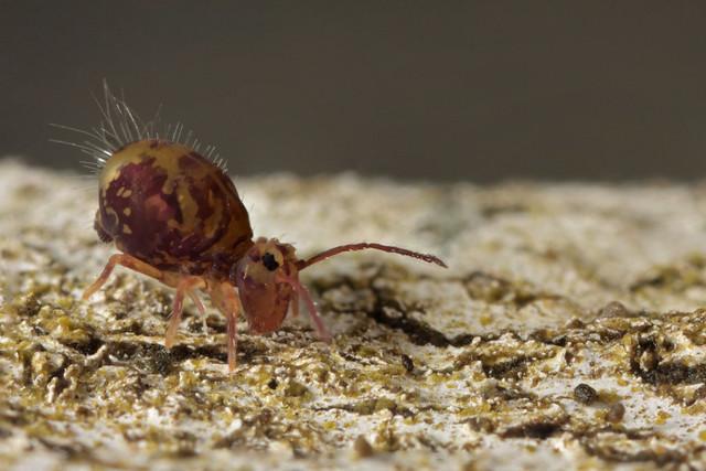 Globular Springtail (Dicyrtomina ornata)