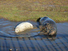 002 (j a thorpe) Tags: lincolnshire seal pup donnanook