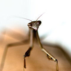 thinking of you (nosha) Tags: usa macro green nature beautiful beauty mantis insect newjersey eyes nikon pattern wildlife praying nj july explore hunger but organic 2008 2009 antenna prayingmantis antennae deadly lightroom f40 105mm 105mmf28 blackmagic nikond200 nosha explored 0ev 1200sec 1200secatf40 ul20090725