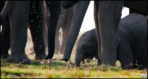 Elephant - Chobe National Park - Botswana